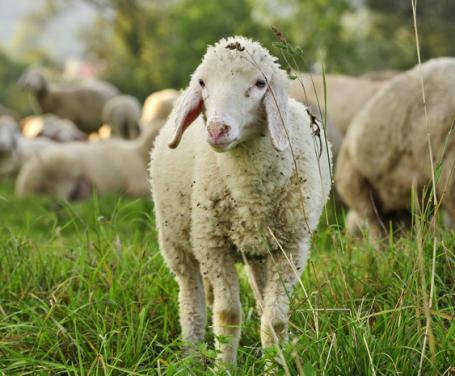 Speciale Pasqua - L'agnello