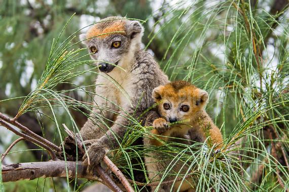 Madagascar en Photos : Le lémurien couronné (Coronatus)