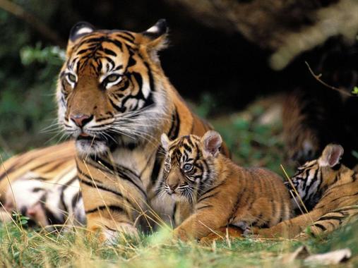 La déforestation pourrait conduire les tigres de Sumatra à ...