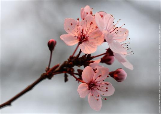 Fleur cerisier du japon fleurs cerisiers du japon img 0178 ...
