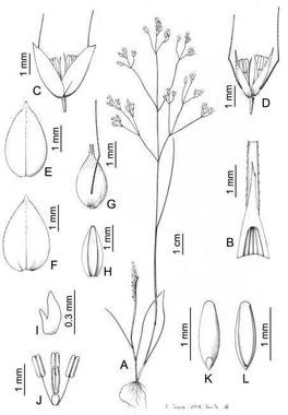Dos nuevas especies de gramíneas delicadas y efímeras ...