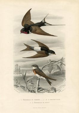 Vintage Printable - Swallows - Natural History | Stuff ...