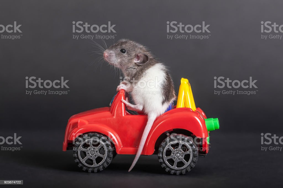 baby-rat-on-the-toy-car-picture-id923574722.jpg
