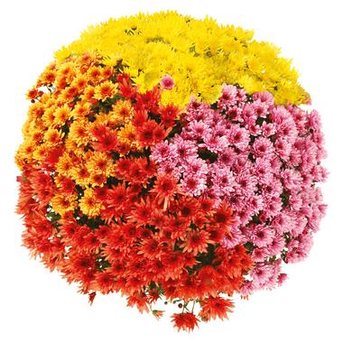 Chrysanthème ou Fleur d'Or